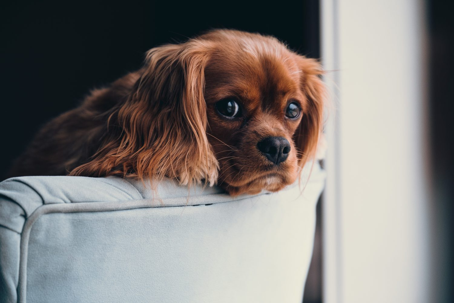 Cover Image: best dog beds for cocker spaniels