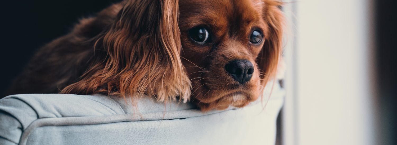 best dog beds for cocker spaniels