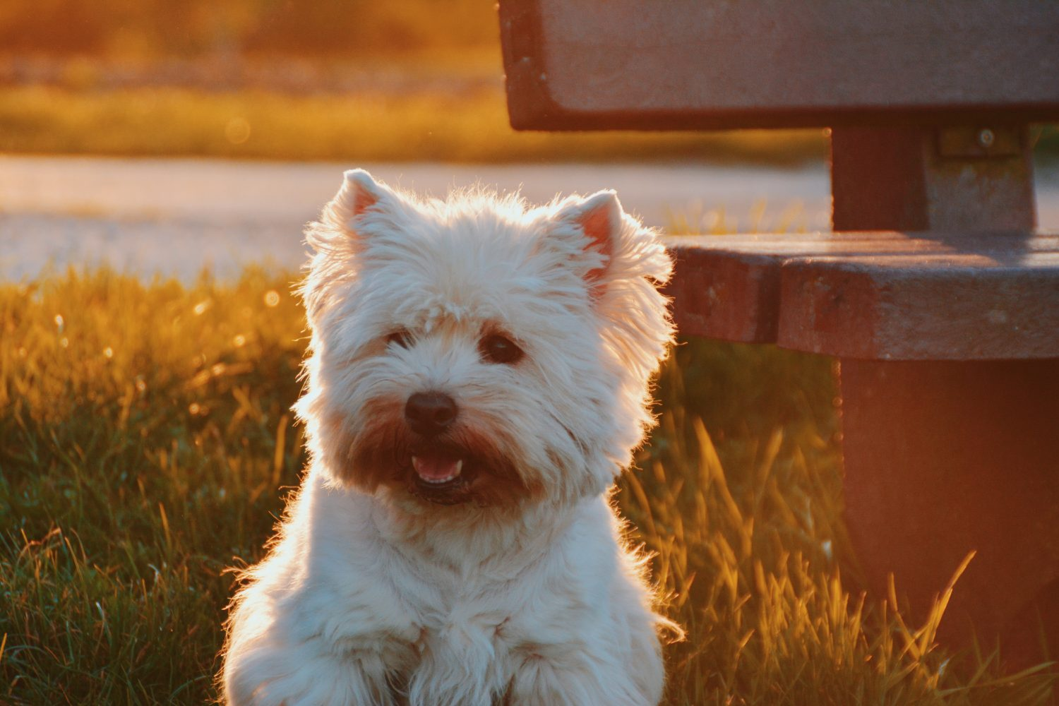 Best Dog Foods For Maltese Tear Stains