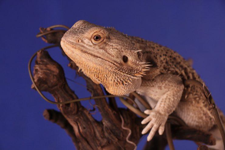 Cover Image: Best Terrarium For Bearded Dragons
