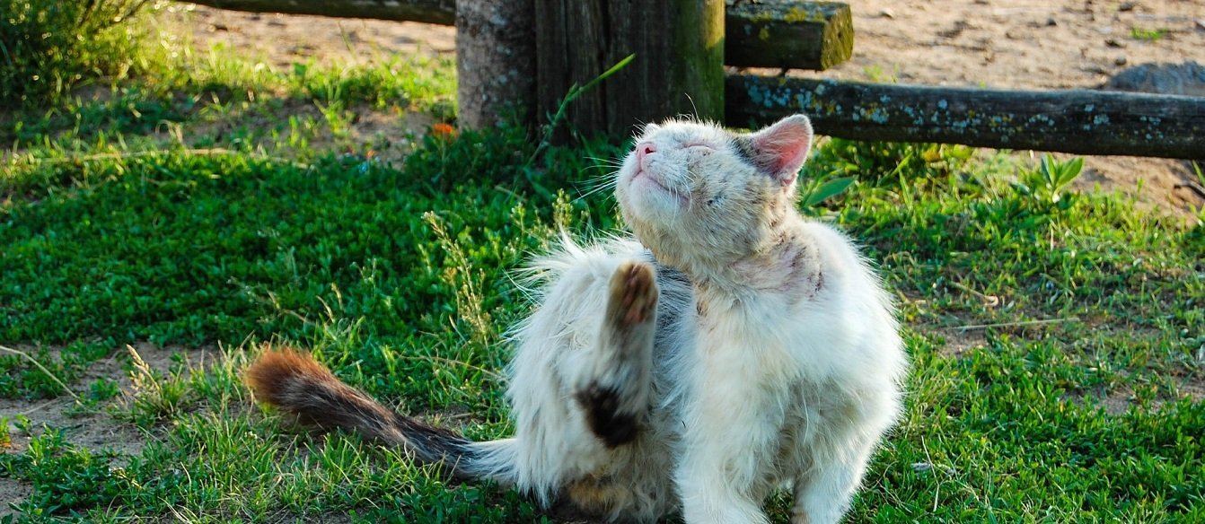 Cover Image: best flea medicine for cats