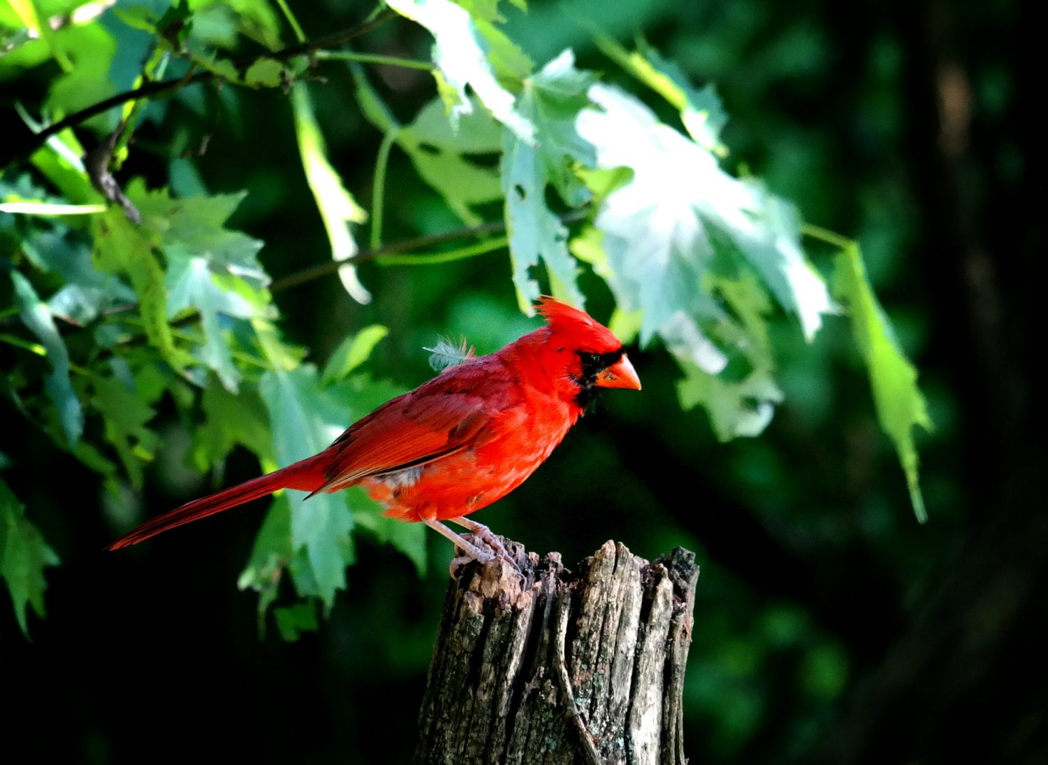 Cover Image: best bird food for cardinals
