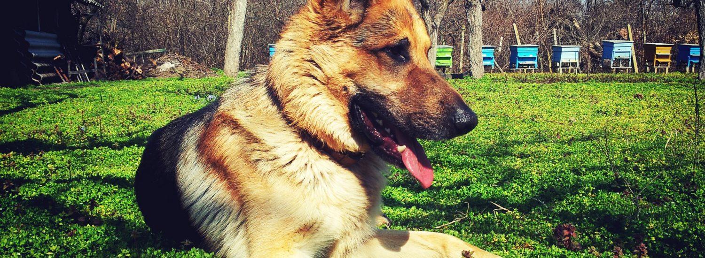 Best Large Breed Puppy Food For German Shepherd