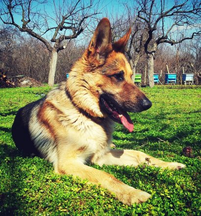Best Large Breed Puppy Food For German Shepherd