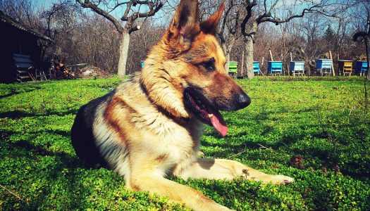 Top 5 Best Large Breed Puppy Food For German Shepherds