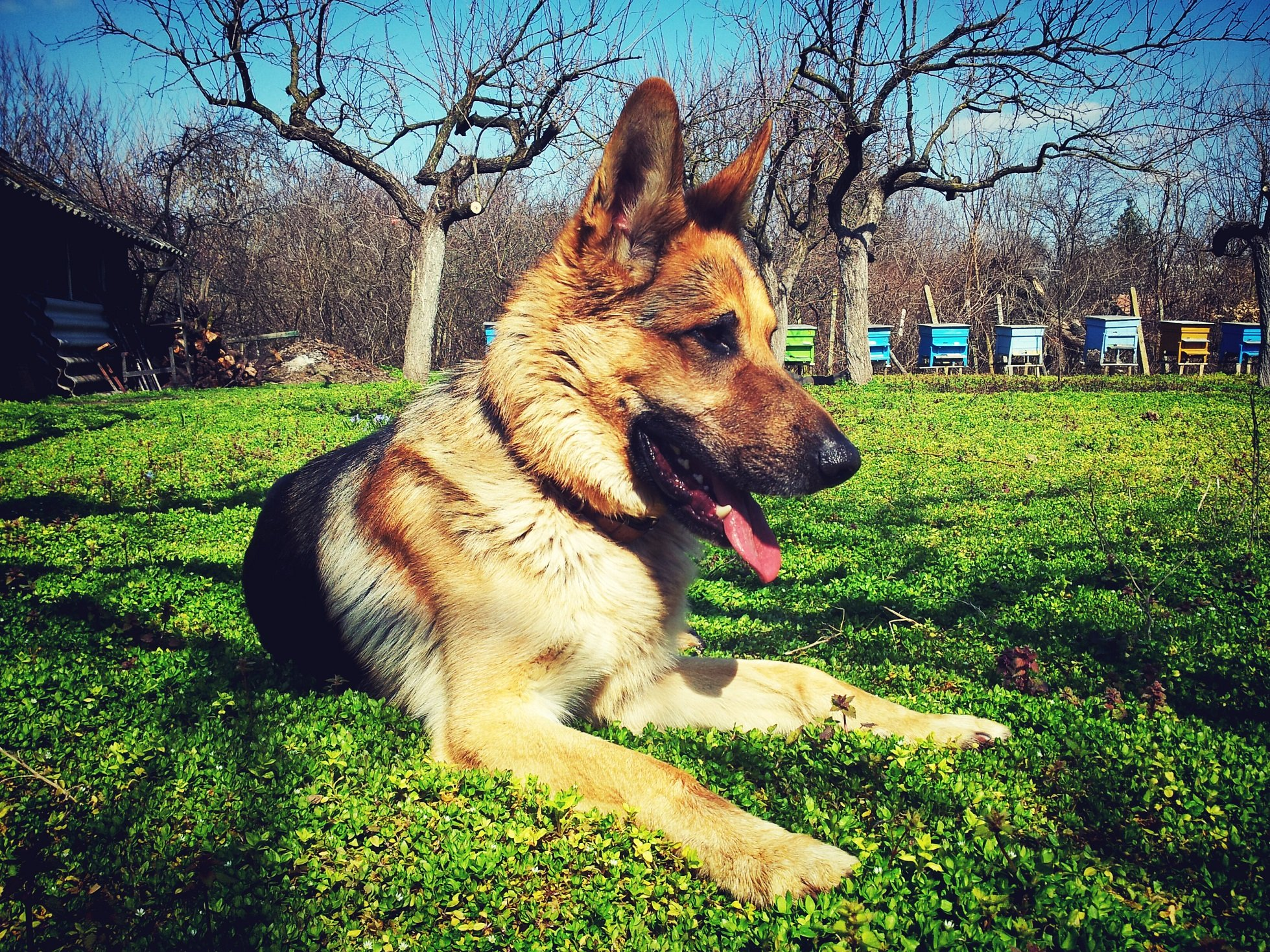 5 Best Large Breed Puppy Food For German Shepherds