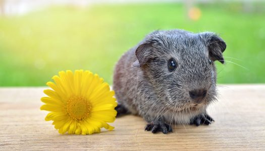 Everything You Need To Know About Guinea Pigs