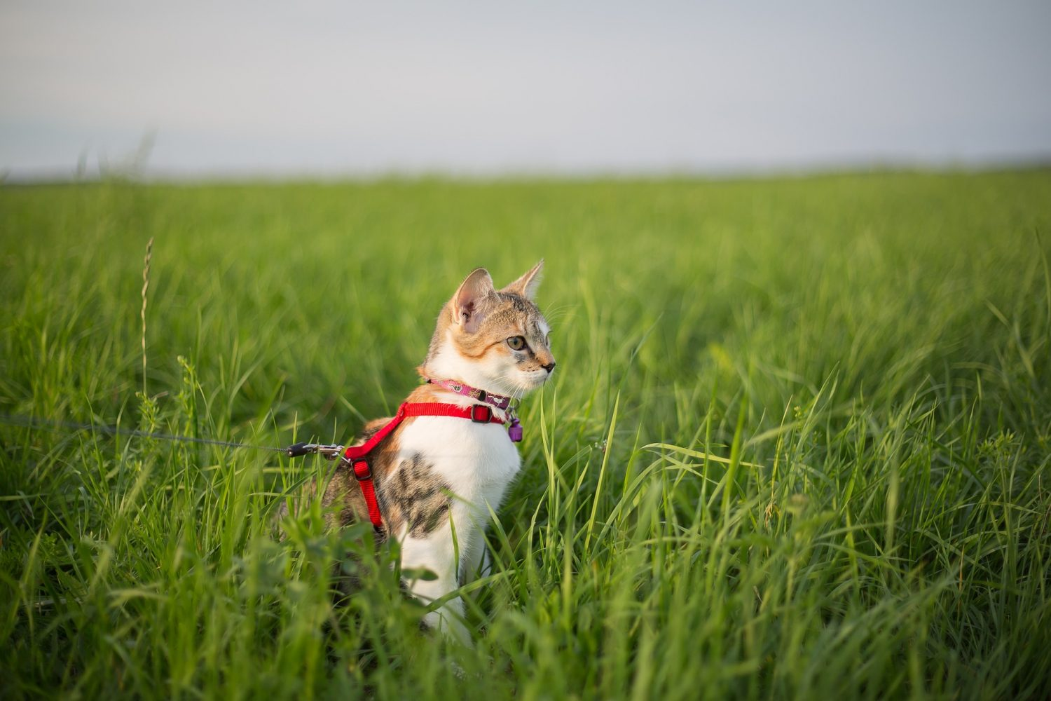 Cover Image: best cat harness no escape