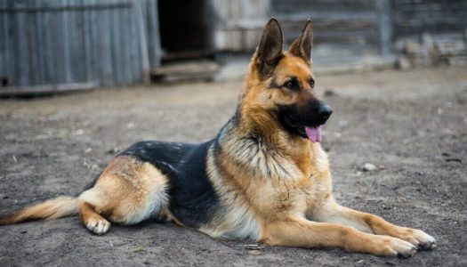 The 6 Best Foods For German Shepherds to Gain Weight