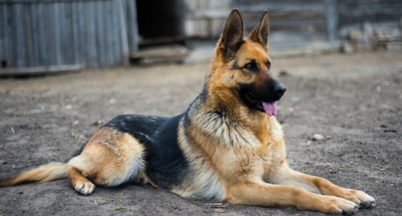 featured image:best food for german shepherd to gain weight